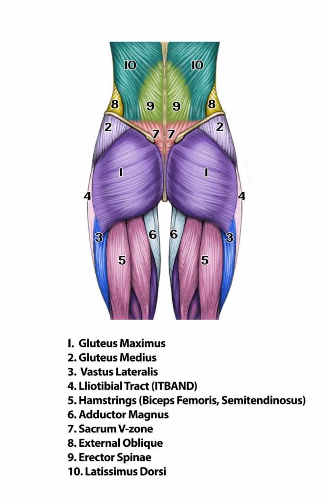 annotated diagram of all the muscles in the human bottom